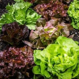 quelle salade choisir pour un hamburger ?