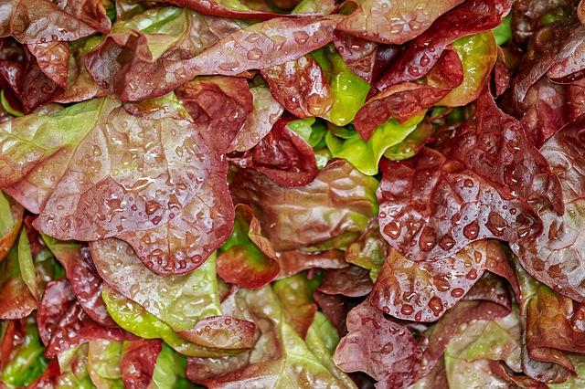 Une salade feuille de chêne à utiliser pour un burger